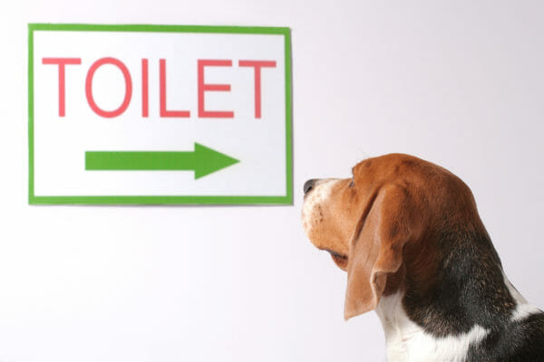 Beagle looking at toilet sign for potty training seminar..