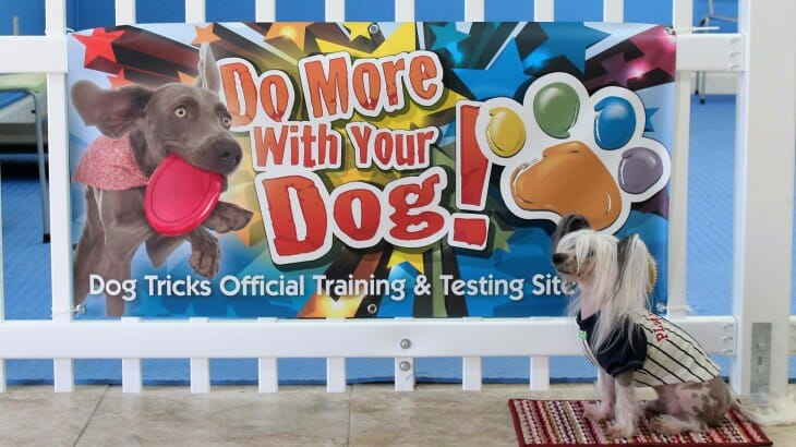 Loki the Chinese Crested sits in front of the Official Trick Training and Testing sign at Rockin' Dawgs Positive Dog Training facility in Rockledge, FL