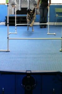 Tabula takes a crack at Flyball in the Sports Sampler Class at Rockin' Dawgs Positive Dog TRaining in Rockledge