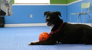 Roz Playing Ball at Rockin' Dawgs Positive Dog Training facility