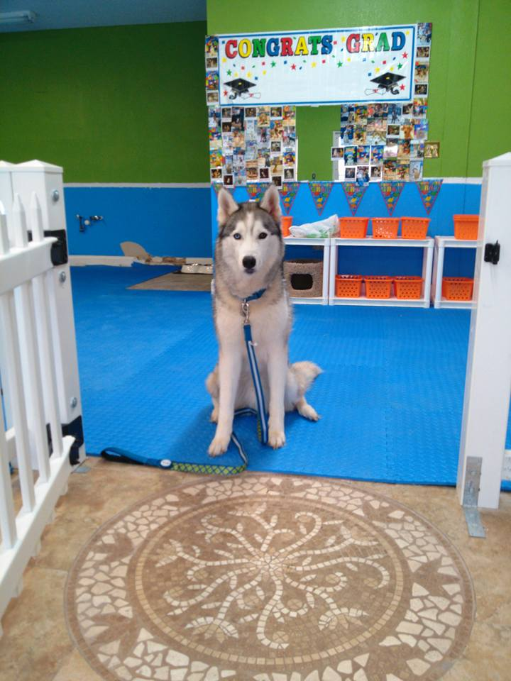 Seppala is guarding the entrance to fun at Rockin' Dawgs Positive Dog Training facility in Rockledge
