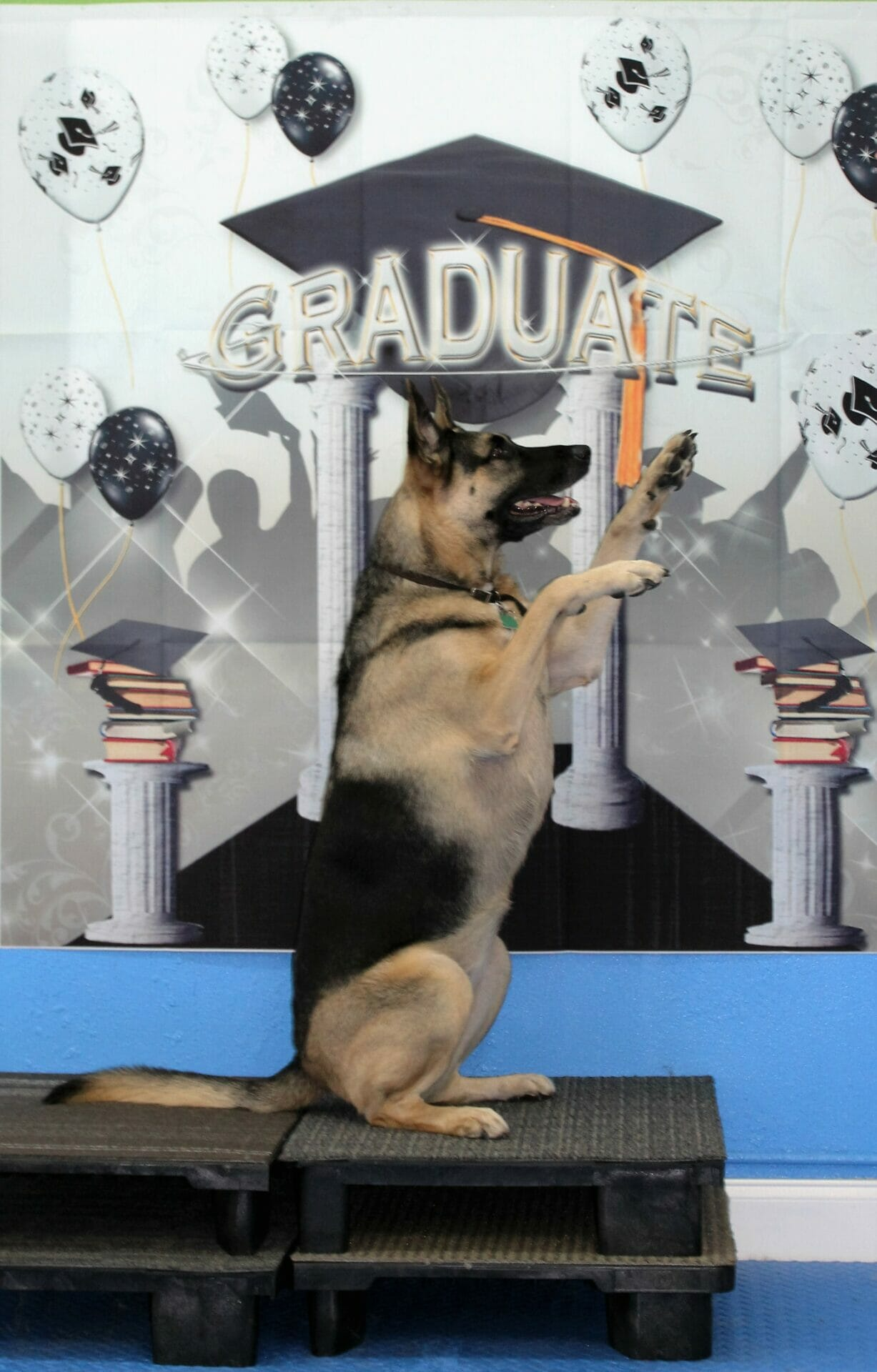 "Tabula ""Sits Pretty"" for her owner on graduation day at Rockin' Dawgs Positive Dog Training in Rockledge"