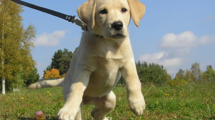 Eager puppy pulling at a leash