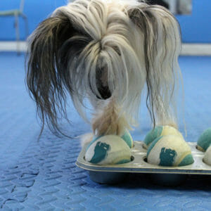 Loki playing the Muffin Tin Game at Rockin' Dawgs Positive Dog Training in Rockledge, FL