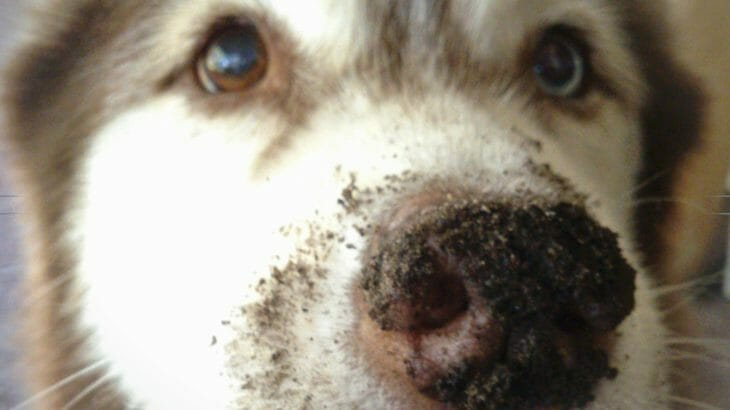 Dirty nose dog. Abbey the husky has been digging!