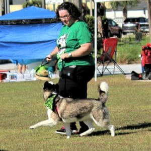 Siberian Husky Heeling at Demo